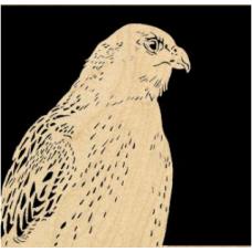 Artic Hawk